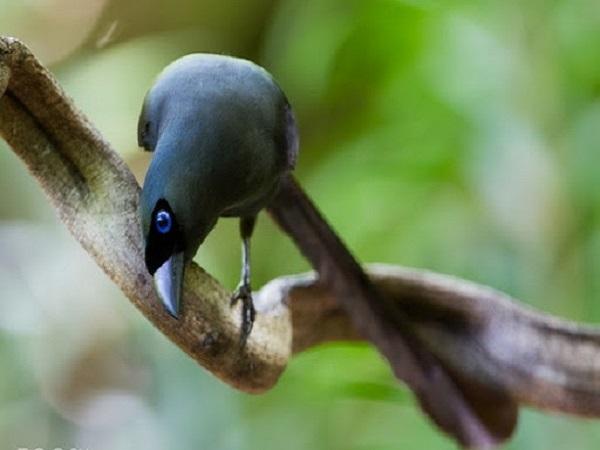 Chim khách kêu báo điềm gì?